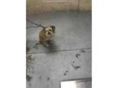 Adopt GRYFF a Tan/Yellow/Fawn - with Black Cairn Terrier / Mixed dog in Conroe