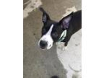 Adopt Priya a Boston Terrier / Boxer / Mixed dog in Gloversville, NY (23536401)