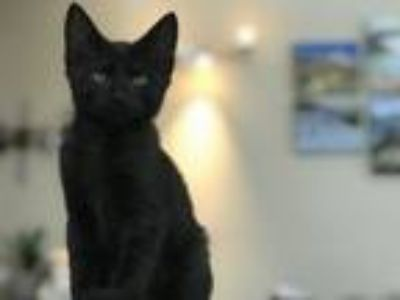 Adopt Catmando a Domestic Short Hair