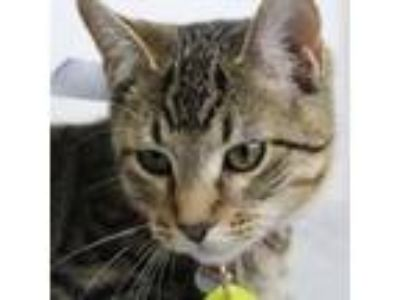 Adopt Torrence a Domestic Short Hair