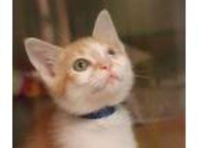 Adopt Will a Domestic Shorthair / Mixed cat in Sioux City, IA (25894216)