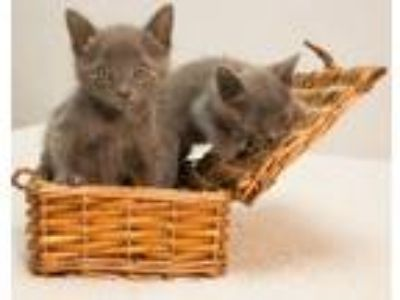 Adopt Kitney and Kittles a Domestic Short Hair