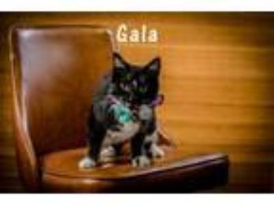 Adopt Gala a Domestic Short Hair