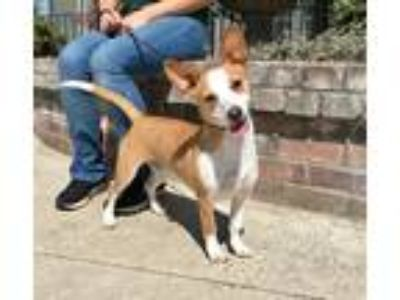 Adopt Eddie a Red/Golden/Orange/Chestnut - with White Corgi / Hound (Unknown