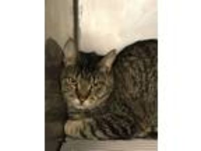 "Adopt ""Buddy"" DSH Gray Tabby a Domestic Short Hair"