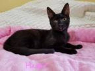 Adopt Hester a All Black Domestic Shorthair (short coat) cat in Manchester