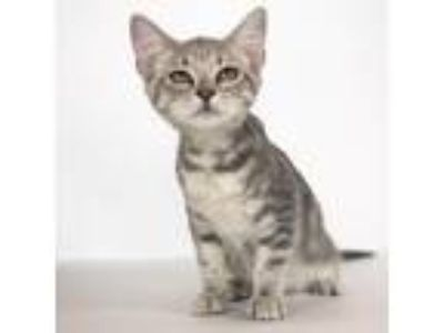 Adopt Chai a Gray or Blue Domestic Shorthair cat in Fredericksburg