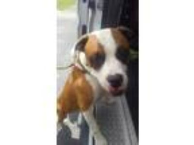 Adopt 42217372 a Tan/Yellow/Fawn Mixed Breed (Large) / Mixed dog in Land