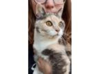 Adopt Kitty a Calico or Dilute Calico Calico (short coat) cat in Newbury Park