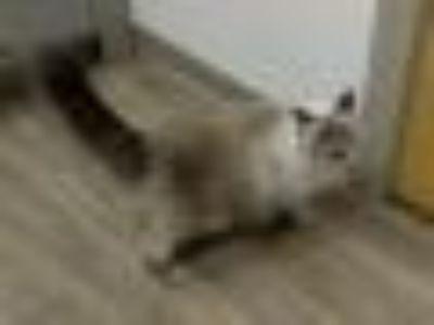 Gemma Ragdoll - Himalayan Cat