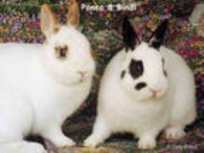 Adopt BINDI a White Dwarf Hotot / Mixed rabbit in Goleta, CA (23976318)