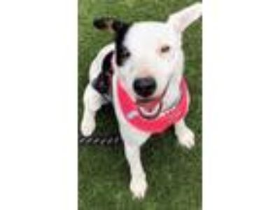 Adopt Roxy a White Jack Russell Terrier / Mixed dog in Santa Maria