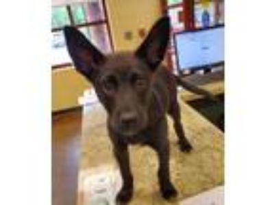 Adopt Micah a Black Shepherd (Unknown Type) / Mixed dog in Independence
