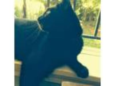 Adopt Mr. Bobo a All Black American Shorthair cat in Amherst, NY (25223423)