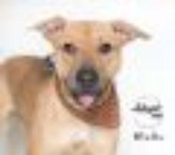 Meadow Yellow Labrador Retriever - Black Mouth Cur Dog