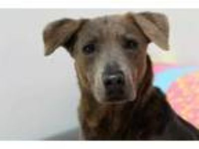Adopt VANIESHA a Brindle Labrador Retriever / Mixed dog in Lacombe