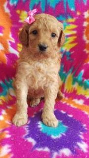 Goldendoodle PUPPY FOR SALE ADN-75129 - F2b Flower