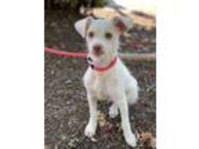 Adopt MILES a White Cairn Terrier / Mixed dog in Hayward, CA (25897546)