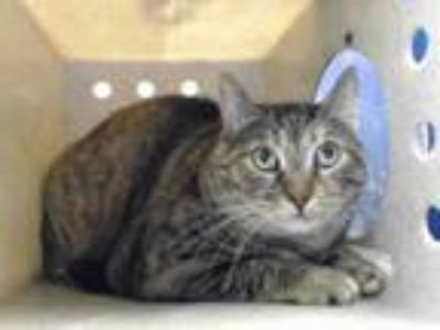 Adopt MOMMA KITTY a Domestic Short Hair