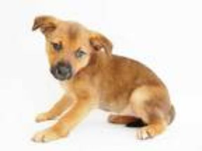 Adopt GALENA a Brown/Chocolate - with Black Golden Retriever / Mixed dog in St.