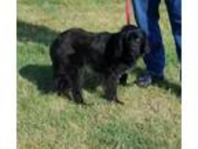 Adopt JUNE a Black Retriever (Unknown Type) / Mixed dog in Clinton