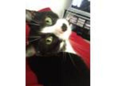 Adopt Meeko a Black & White or Tuxedo Domestic Shorthair / Mixed cat in Ofallon