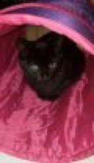2 BLACK CATS Domestic Short Hair Cat