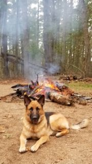 German Shepherd Dog PUPPY FOR SALE ADN-72378 - Akc Blackred pups due May 1st