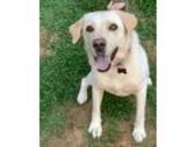Adopt Maylee a Tan/Yellow/Fawn Labrador Retriever / Mixed dog in Southbury