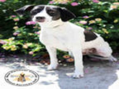 Adopt a White - with Black Labrador Retriever / Mixed dog in Wilmington