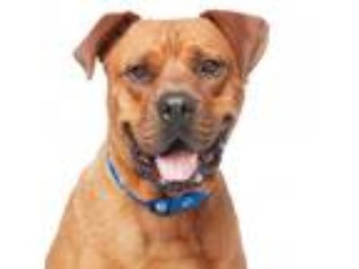 Adopt Brutus a Red/Golden/Orange/Chestnut Mastiff / Rottweiler / Mixed dog in