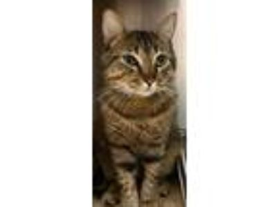 Adopt Snuggles a Brown Tabby Domestic Shorthair (short coat) cat in Loudon