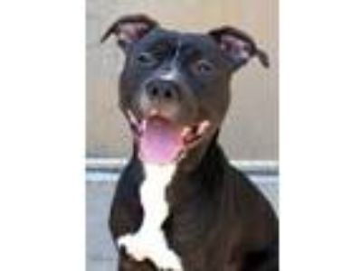 Adopt Silas a Black American Pit Bull Terrier / Mixed dog in South Bend