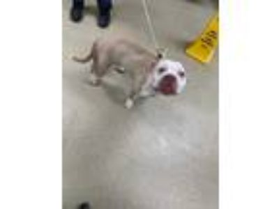 Adopt 41890515 a Tan/Yellow/Fawn American Pit Bull Terrier / Mixed dog in Fort