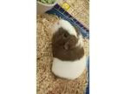 Adopt Annabell a Guinea Pig, Short-Haired