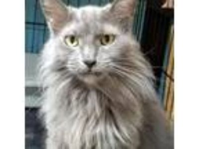 Adopt Destiny a Domestic Long Hair