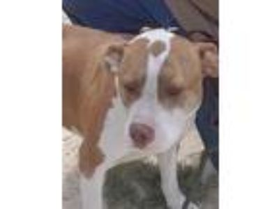 Adopt Bubby a Brown/Chocolate - with White American Pit Bull Terrier / Mixed dog