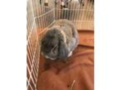 Adopt Sora a French Lop
