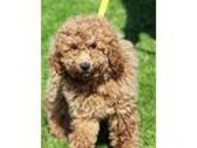 Adopt CHLOE a Red/Golden/Orange/Chestnut Goldendoodle / Mixed dog in Rossford