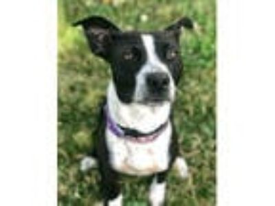 Adopt JUNIPER a Black - with White Border Collie / Mixed dog in Olivette