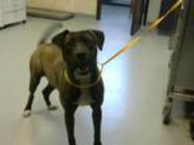 Adopt CRYSTAL a Brindle - with White Plott Hound / Mixed dog in Fayetteville