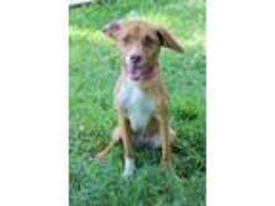 Adopt Twix a Tan/Yellow/Fawn - with White Hound (Unknown Type) / Mixed dog in