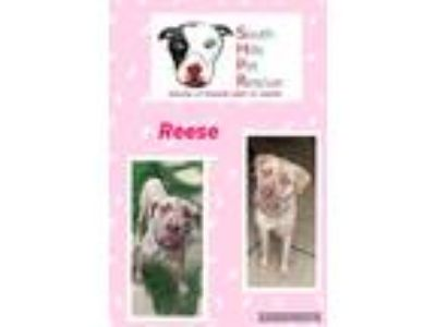 Adopt Reese a Brindle Mastiff / Mixed dog in South Park, PA (25639250)