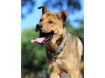 Adopt Pambazo a Shepherd (Unknown Type) / Chow Chow / Mixed dog in Barrington
