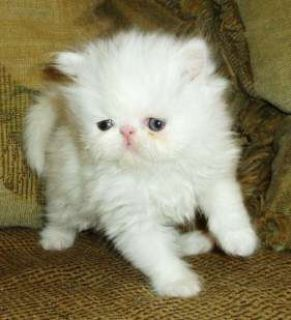 Adorable Extreme faced show quality persian kittens