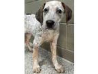 Adopt Ilsa a White - with Brown or Chocolate Pointer / Mixed dog in Hinsdale