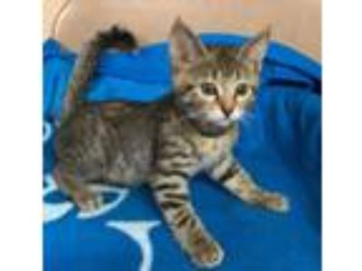 Adopt Kitten Tina T a Brown Tabby Domestic Shorthair (short coat) cat in