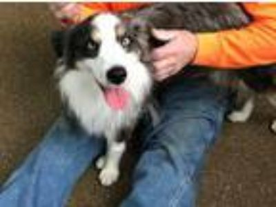 Adopt Buddy Blue a Merle Australian Shepherd / Mixed dog in Overland Park