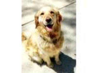 Adopt Colette a Tan/Yellow/Fawn Golden Retriever / Mixed dog in Washington