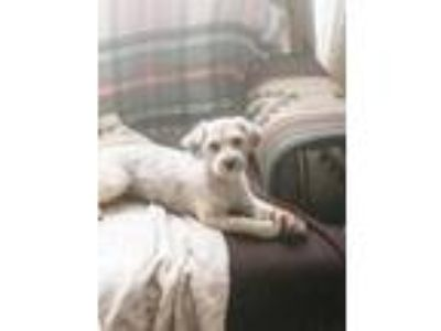 Adopt Afini a Poodle, Yorkshire Terrier